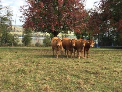 Galliker's Rinder Herbst