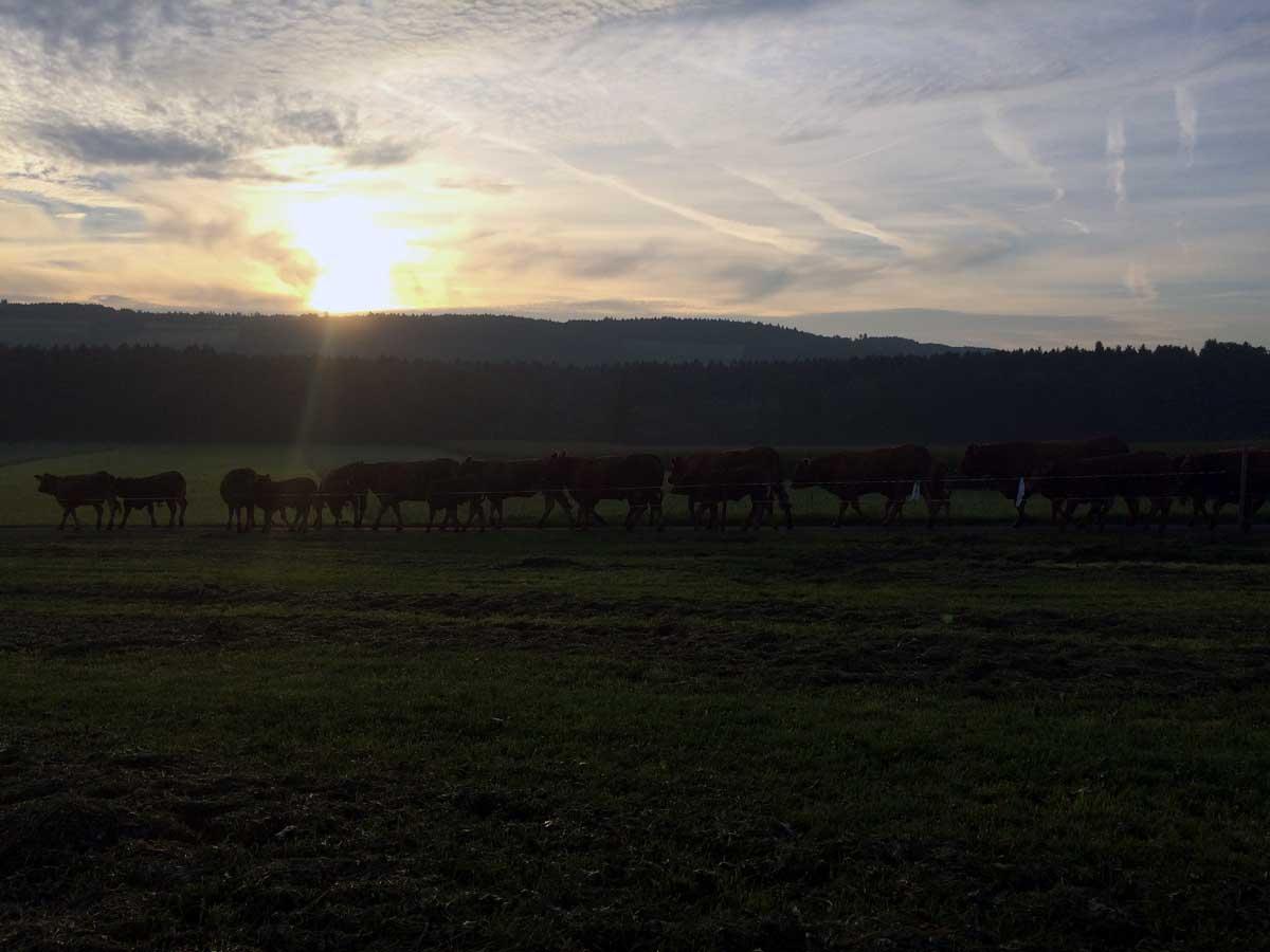 Galliker Kühe laufen auf Weide